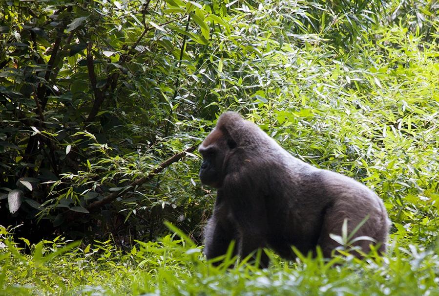 Gorilla, Gorilla beringei
