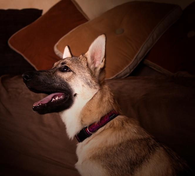 Arwen, Tamaskan puppy