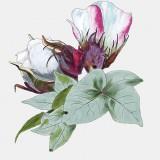 Digital Illustration: Cotton