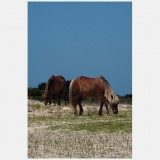 Shackleford Ponies/Horses 1