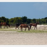 Shackleford Ponies/Horses 2
