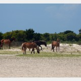 Shackleford Ponies/Horses 3