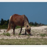 Shackleford Ponies/Horses 4