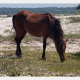 Shackleford Ponies/Horses 5