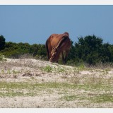 Shackleford Ponies/Horses 6