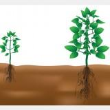 Soybean plant illustration